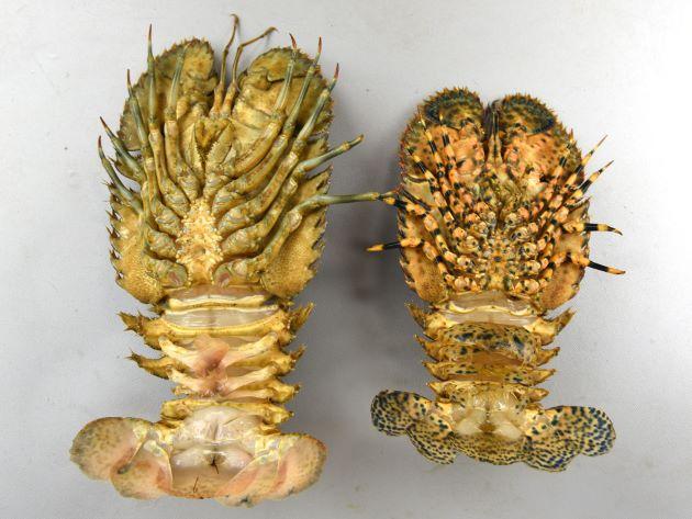 向かって左がミナミゾウリエビ、右がゾウリエビ。ゾウリエビと比べると脚の斑紋が薄く、特に裏側から見ると不鮮明。
