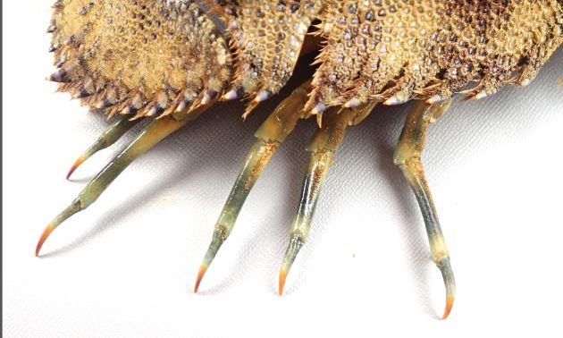 ゾウリエビと比べると脚の斑紋が薄く、特に裏側から見ると不鮮明。[表側から]