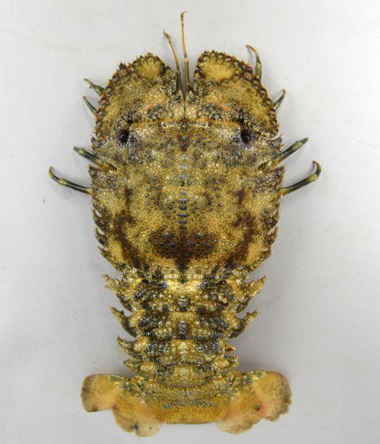 ミナミゾウリエビの形態写真