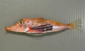 ハナナガソコホウボウのサムネイル写真