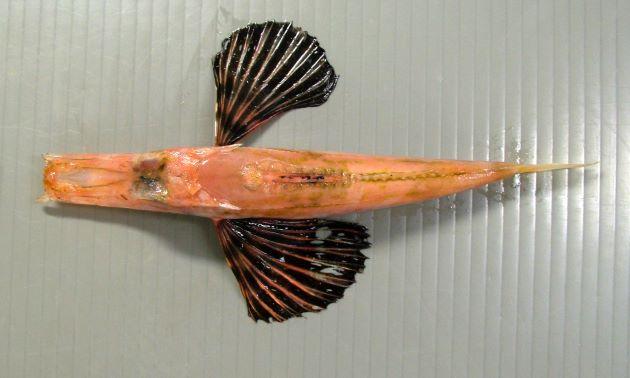 SL 20cm前後になる。体高の割りに左右側へんする。第2背鰭基底分には骨質板がない。吻棘は非常に長い(写真では吻棘が短いが破損)。
