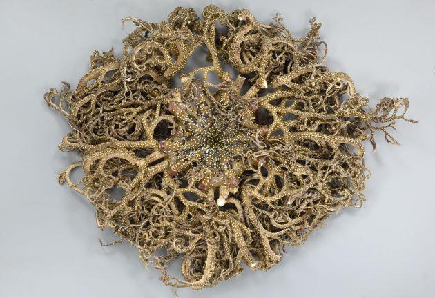 セノテヅルモヅルの形態写真