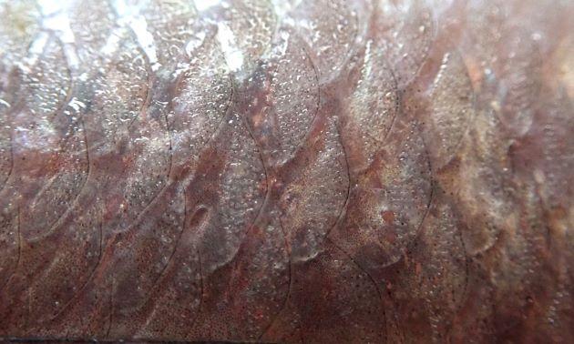 体側鱗の小棘は小さくて密。