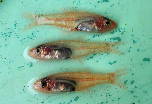 SL 5cm前後になる。体は細長く透明で赤みがかる。鱗は大きい。