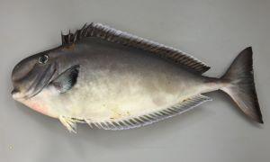 トサカハギのサムネイル写真