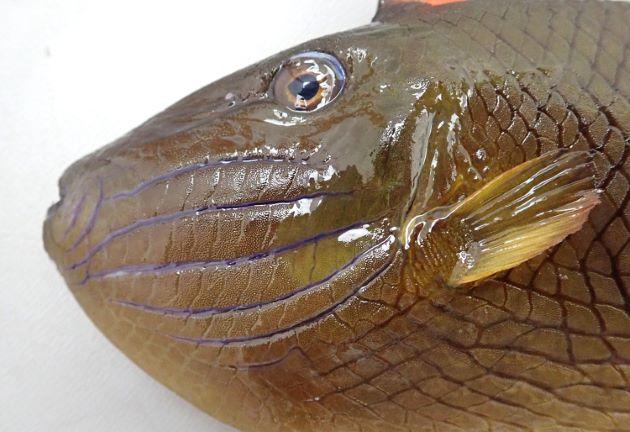 SL 24cm前後になる。雌雄で体色が異なる。体側に縦縞がなく、頬部分に5本から6本の溝がある。鱗に突起がなく、生時に表面に明瞭な灰色斑があある。