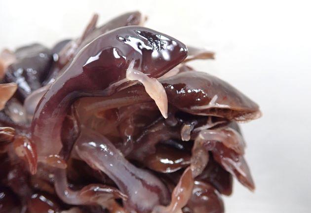 スジエボシの形態写真