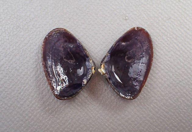 SL 20mm前後になる。ナミノコガイではやや殻に厚みがある。成長脈がくっきりしていて、放射肋は弱い。