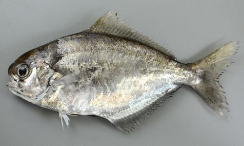 イボダイの生物写真