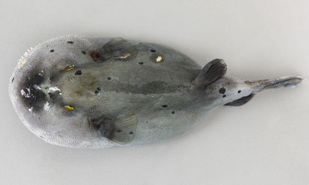 Max lengh(最大) 33cm TL(全長)になる。SL 20cm 前後が多い。尾鰭後端は黒くなく、体に黒点が散らばる。