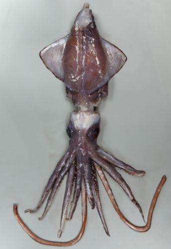 外套長30cm前後になる。写真は一部が欠けているが外套長24cm・重さ954g。外套膜は円錐形で鰭は菱形で大きい。目が非常に大きい。腕には筋肉にくるまった2列の棘がある。外套腹面、触腕に発光器がある。[背面]