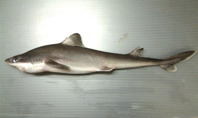 ツマリツノザメの形態写真