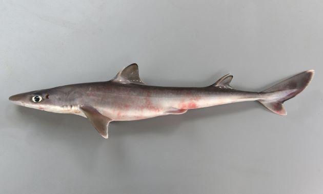 トガリツノザメの形態写真