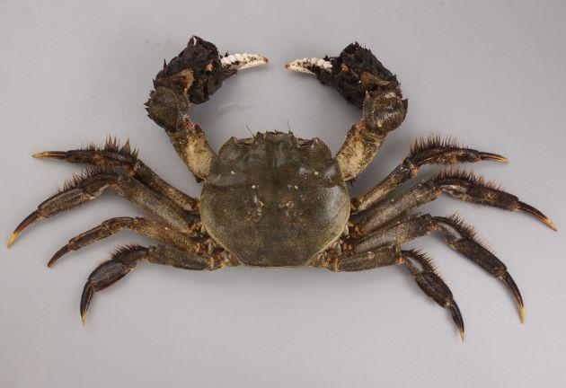 雄の方が大きい。雄で甲幅80mm前後になる。ハサミ脚、歩脚に細かい毛が生えている。[写真は足や鉗脚が長い雄]