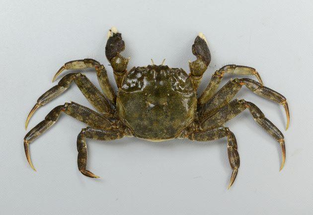 雄の方が大きい。雄で甲幅80mm前後になる。ハサミ脚、歩脚に細かい毛が生えている。[写真は足や鉗脚が細くて短い雌]