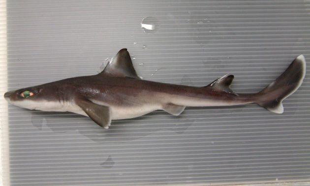 ヒレタカツノザメの形態写真