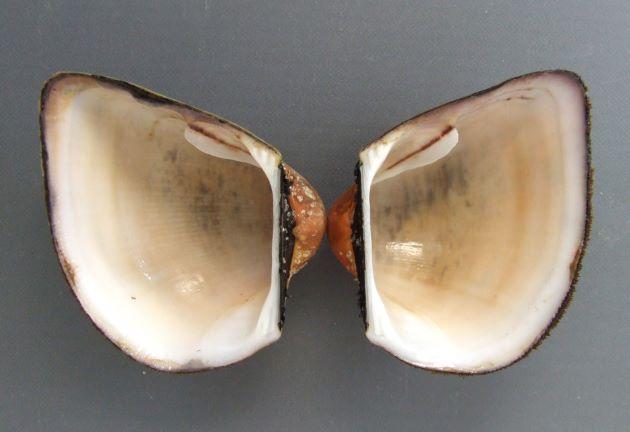 SL 70mm 前後になる。貝殻は膨らみが強く箱を思わせる。放射肋と同心円肋が交わり布目状になる。