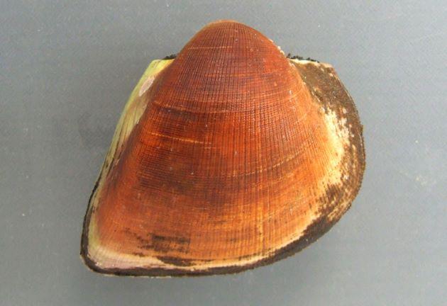 ヌノメアカガイの形態写真