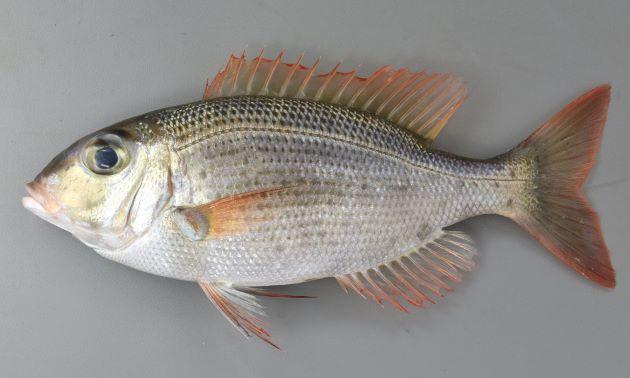 43cm SL 前後になる。体高が低い。側線下の鱗に黒い点がある。いちばん体高の高い部分、側線から背鰭つけ根までの鱗数はいちばん上の小さなものも含めて6。目の上に眉を思わせる褐色の斑紋がある。目の下、頬に鱗があり、目の下に小さな斑点がある。下顎側部の歯は鈍い円錐状。背鰭10棘、10軟条、尻鰭は3棘、9-10軟条、胸鰭は14軟条。[体長28.5cm・重さ662g]