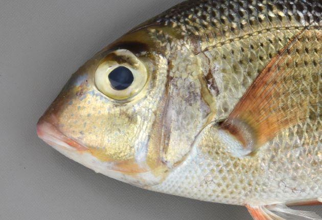 目の上に眉を思わせる褐色の斑紋がある。目の下、頬に鱗があり、目の下に小さな斑点がある。