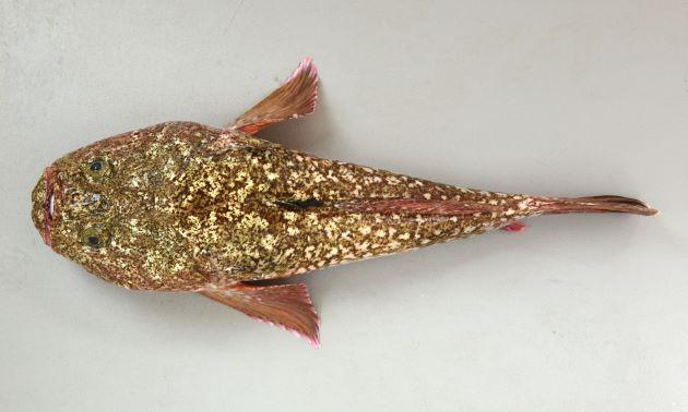 28cm SL 前後になる。背鰭は2、擬鎖骨は太く長く強い。前鰓蓋骨下縁のとげは4本以上。頭部体幹部背の部分に不明瞭な絣を思わせる斑紋がある。体側には明瞭な列をなさない。