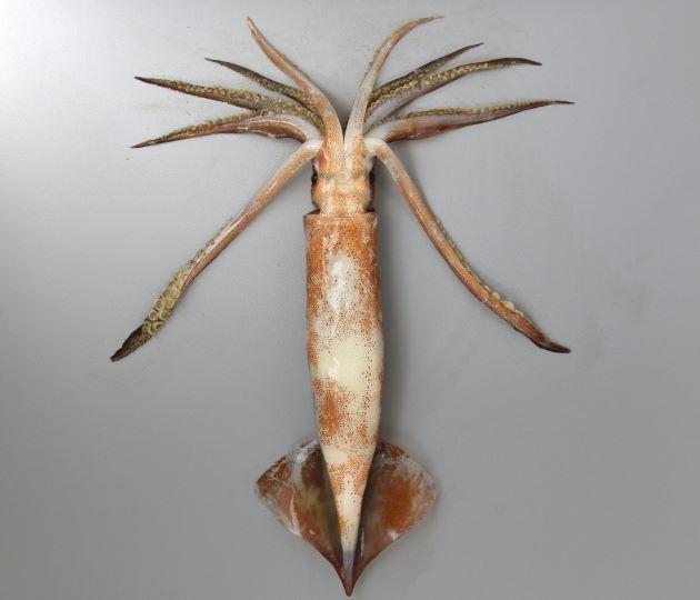 外套長(胴の長さ)25cm前後になる。胴は丸く、細長い。交接腕変形は右Ⅳ腕先端のみ。