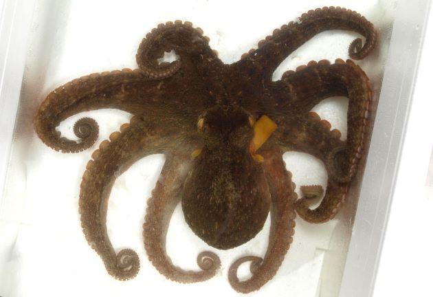 全長60cm前後になる。体表は網目状。外套膜の表面に大きな疣がある。腕はほぼ同長。