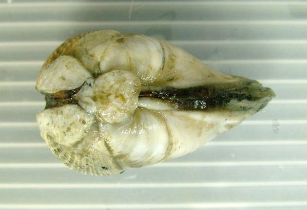 35mm SL 前後になる。貝殻はよく膨らむ。
