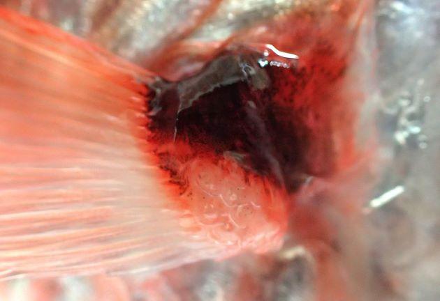 胸鰭腋部に小さな鱗がある。