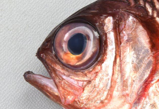 目の上方に黒い部分がない。
