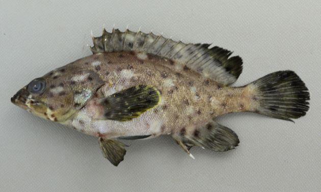 ホシヒレグロハタの形態写真