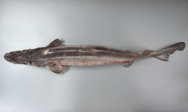 1.1m TL 前後になる。体は黒っぽい。吻は長く縦扁する。第1背鰭、第2背鰭に棘がある。尻鰭がない。