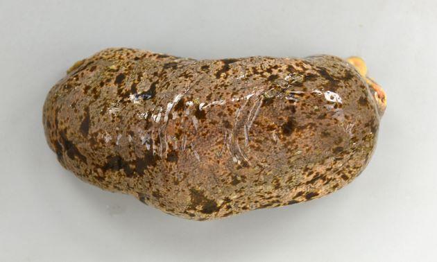 オオクリイロナマコの形態写真