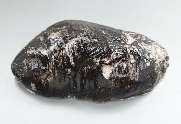 イシナマコの形態写真