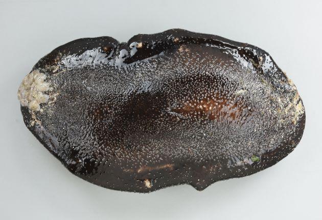 体長30-40cm前後になる。腹面は平ら。体が非常に硬く、表面にたくさん砂をつけている。またたくさんの小さな疣が点在する。これは体色の黒いもの。白いものもある。