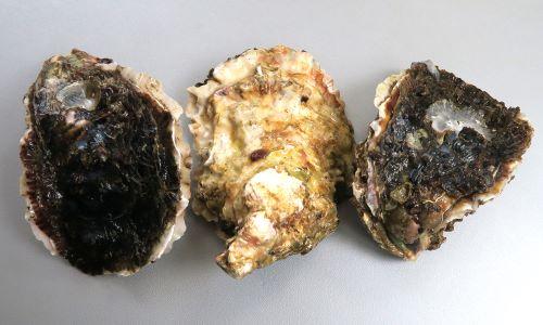 殻高(画像の天地)20cmを超える。形は長楕円形ではあるが様々。貝殻は分厚く、表面は薄い板状が重なり合い、1キロ近い重さがあるものもある。[長崎県産養殖]