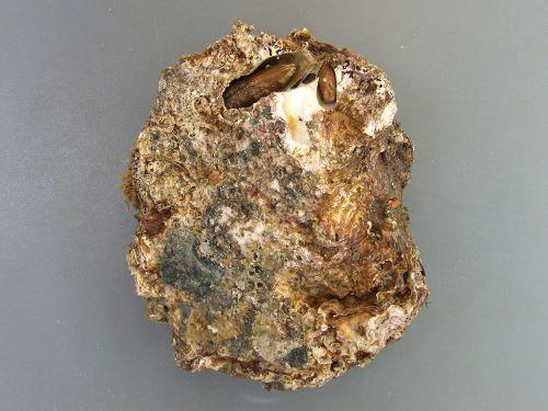 裏側。イシマテガイが穴を掘って住んでいる。これはコンクリート壁などにへばりついたいたもので平ら。[徳島県産天然]