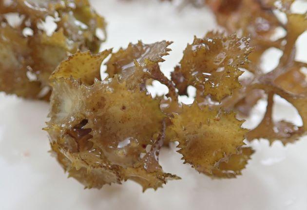 体の高さ15-20cmになる。葉がラッパ状で縁がギザギザしている。