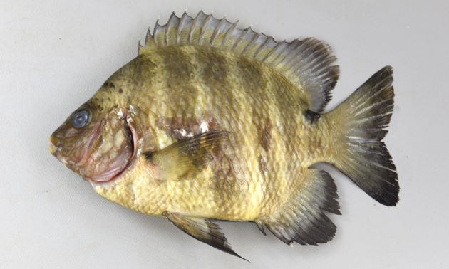 17cm SL 前後になる。尾柄部に棘状の鰭条がなく、背側に黒い斑紋がある。前鰓蓋骨の後縁は円滑。太い褐色の横帯がある。