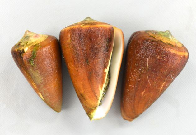 ロウソクガイの形態写真
