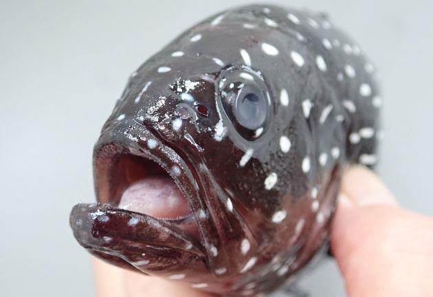 25cm SL 前後になる。前鰓蓋骨後縁に棘がある。下顎先端下部に皮弁がある(ほとんど見えない)。体側に白い縦縞(長さはマチマチ)がある。