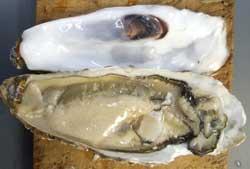 カキの貝殻の開け方3