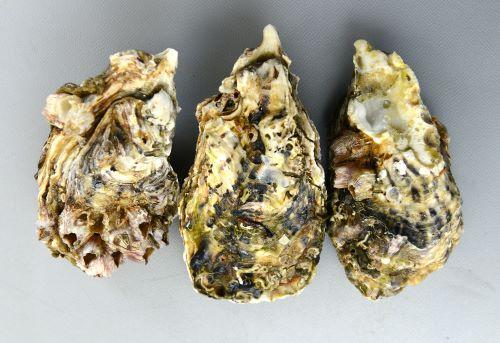 殻長20cm近くになる。中央のマガキの上(フタ)が右の貝殻、下が左の貝殻となる。すなわちマガキはもっぱら岩などに左の貝殻を付着させている。中央のマガキで説明すると向かって右が前部、左が後部となる。このように二枚貝の貝殻は左右に開く。貝殻の形は生息場所によって様々。色合いや模様にも変化が見られる。[徳島県産]