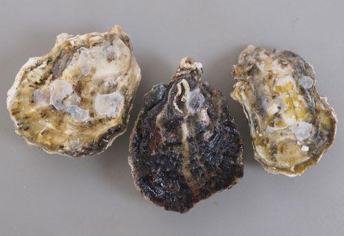 貝殻の形は生息場所によって様々。色合いや模様にも変化が見られる。[長崎県有明海]