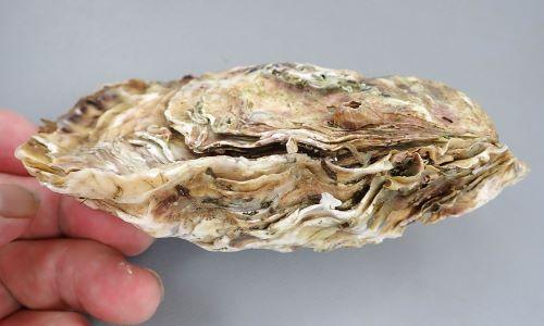 上(フタ)が右の貝殻、下のふくらんでいる方が左の貝殻となる。外表は黄色に紫褐色の放射帯や斑紋があるが、周縁は強く波打つ。また右殻の成長褶は波状葉片となる。内面は白色で、周縁部は黄色みがかり、閉殻筋痕は紫色、鉸板に刻歯はない。