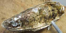 カキの貝殻の開け方1