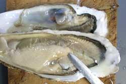 カキの貝殻の開け方2