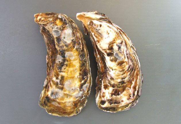 貝殻の形は生息場所によって様々。色合いや模様にも変化が見られる。[「かき小町」広島県産]