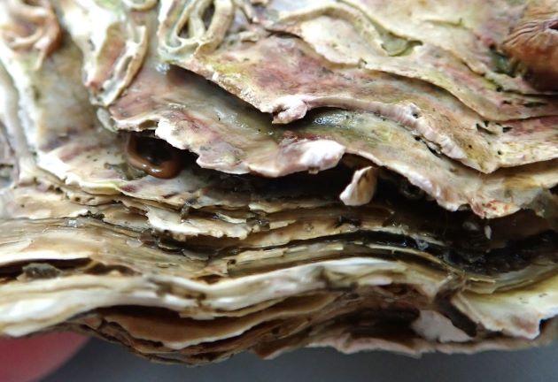 また右殻の成長褶(成長に従い新しくできる貝殻のひだ)は波状葉片(波打った葉のように薄い)となる。檜皮葺のよう。