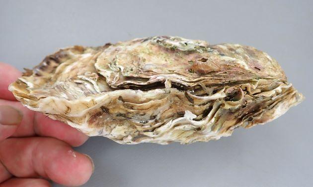 上(フタ)が右の貝殻、下のふくらんでいる方が左の貝殻となる。外表は黄色に紫褐色の放射帯や斑紋があるが、周縁は強く波打つ。また右殻の成長褶は波状葉片(檜皮葺状)となる。内面は白色で、周縁部は黄色みがかり、閉殻筋痕は紫色、鉸板に刻歯はない。